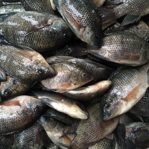 Desi Tilapia Malancha *EXCLUSIVE* (4/8 Count)
